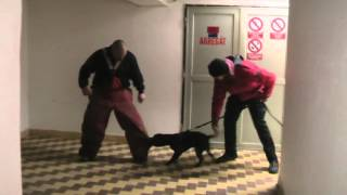 Staffordshire Bullterrier - Puppy Protection Work On The Legs