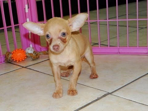 chihuahua puppies for sale in sc chihuahua puppies dogs for sale in charleston south 8781