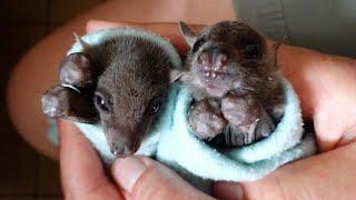 Orphaned Baby Bats Named Bruce and Wayne Cuddle While Making Faces at Camera thumbnail
