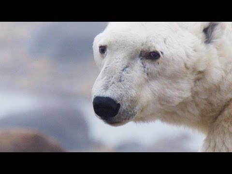 A Beloved Alpha Polar Bear Near the End of His Life