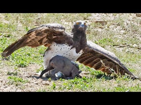 eagle catches fights baby