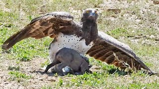 Eagle Catches & Fights Baby Warthog