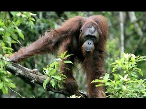 Вопрос: У кого из млекопитающих нет хвоста?