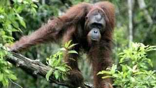Орангутан - Orangutan (Энциклопедия животных)