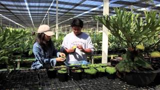 Growing Platycerium ridleyi from spores