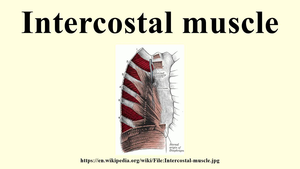 Intercostal Muscle Youtube