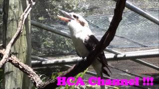 Kookaburras at Brevard Zoo — Melbourne, FL / PAJARO  Cucaburra o CUCO
