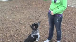 Hank--australian Cattle Dog (blue Heeler)/pointer Mix