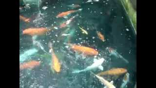 Koi for Sale at Manila, Philippines at Ardyam Koi Farm (Nationwide Shipment)