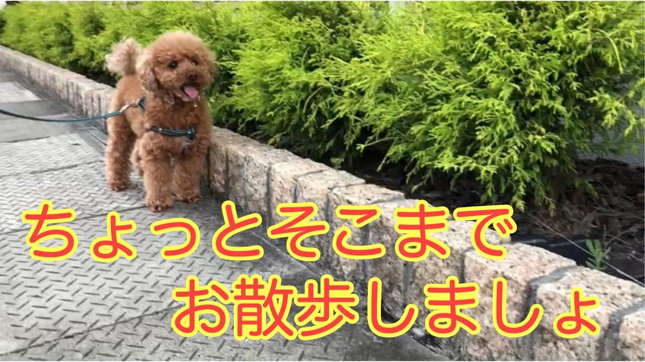 【トイ・プードル】ちょっとそこまでお散歩します【日常の1コマ】【初夏の夕方散歩】