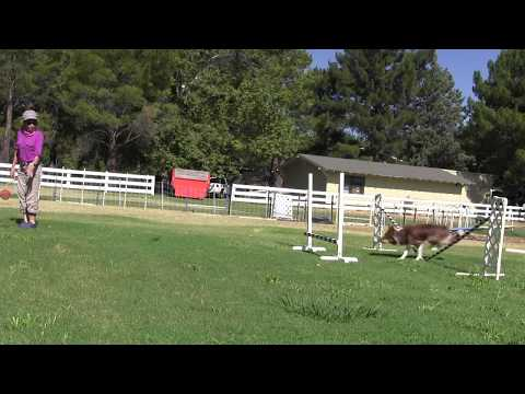 Using Placement Jump to Teach Obedience Jumping