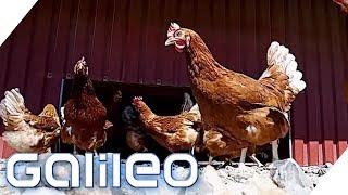 Freilaufende Hühner? Was bedeuten die Beschriftungen auf Eiern? | Galileo | ProSieben