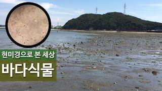 [현미경으로 본 세상] 마디잘록이? 바다식물편 #8 (…