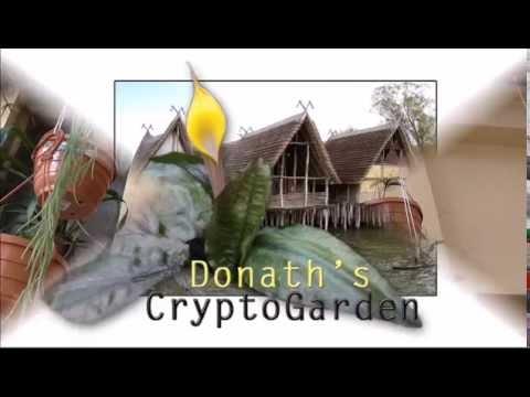 DonathsCryptoGarden Nr. 1) Hoya spec  aff  bilobata, Porzellanblumen, Wachsblumen in Kultur