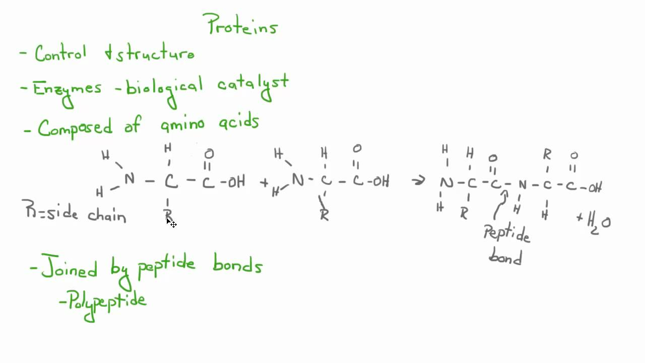 Introduction To Biology 6 Carbohydrates Lipids Proteins