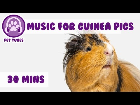 30 Minutes of the Best Guinea Pig Music Around! Relax Your Guinea Pig with Music!