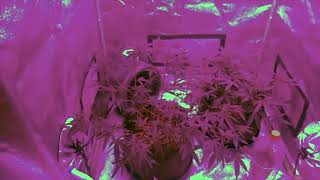 Grow update!!! GG#4, Green Crack, Sour D and Cindy 99