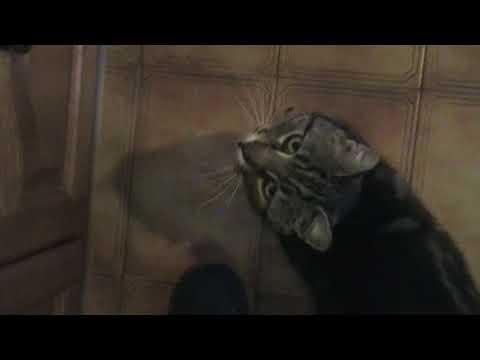 TALKATIVE SINGING CAT MOV25F