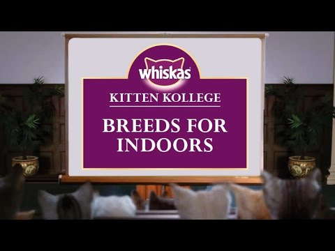 Indoor Kitten Breeds : Kitten Kollege