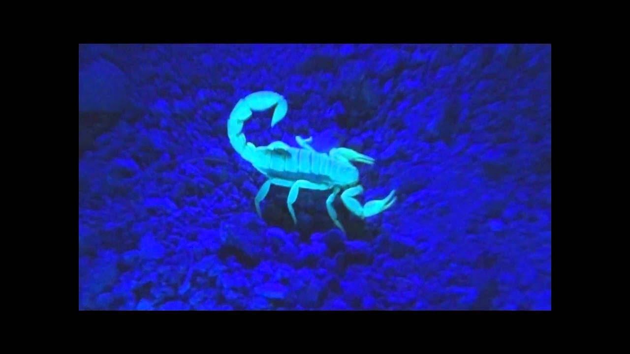 Scorpions Under Uv Light Youtube