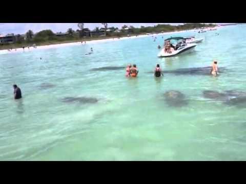 Manatees-Sanibel Island