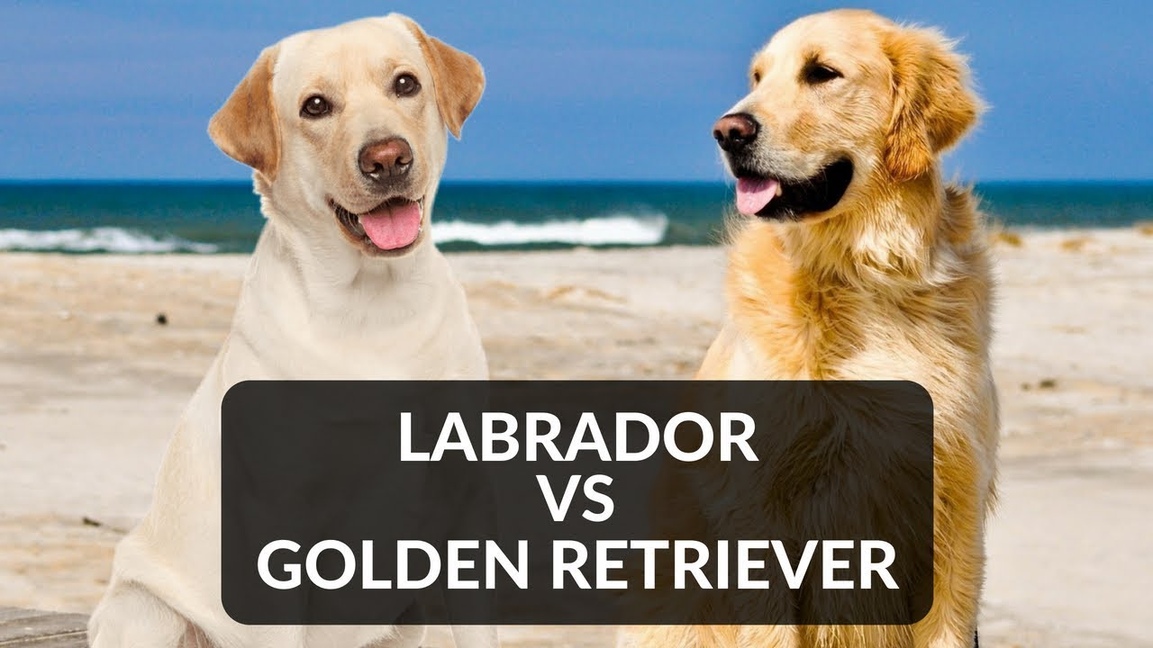 Labrador Vs Golden Retriever Youtube