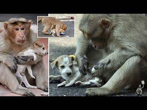 Monkey adopts a puppy, loves it more than anyone will love you