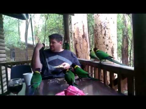 Feeding ringneck parrots and kookaburras in Karri Valley