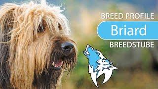 Briard Breed, Temperament & Training