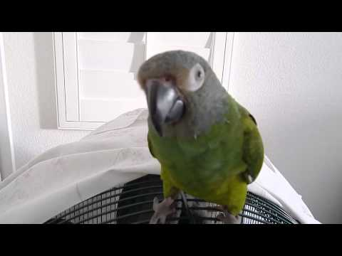 Loubert the Dusky Conure Parrot  doing some tricks.