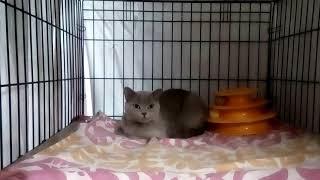 Кошка Гречка