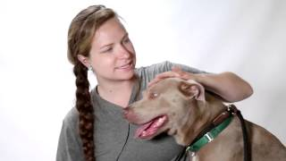 Meet Maya A Weimaraner Currently Available For Adoption At Petango.com! 6/18/2014 2:04:32 Pm