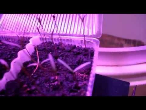 Результаты посадки и всхожесть ростишек мухоловки, бонсаев и розы.