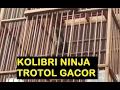 Kolibri Ninja Trotol Gacor A K A Baby Hummingbird  Mp3 - Mp4 Download