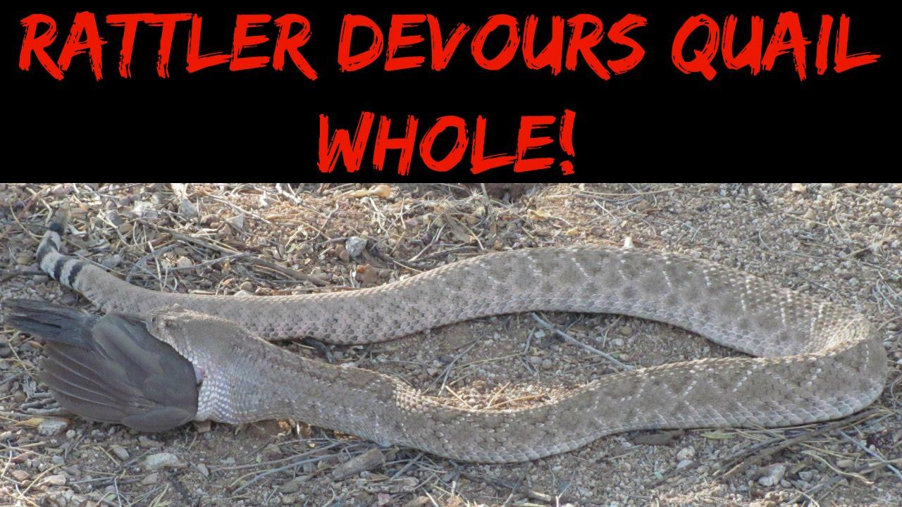 diamondback rattler eats whole quail in my arizona backyard youtube