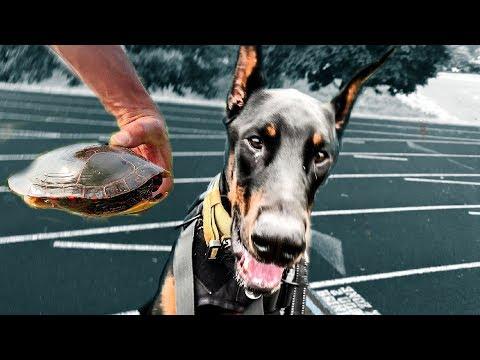 How Fast can a Doberman Pinscher Run? 100m dash