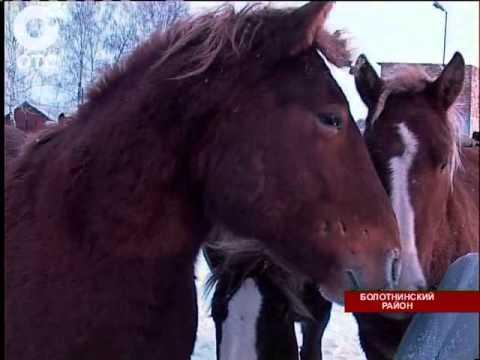 """В Год лошади в Болотнинском районе ожидают рождение сотни жеребят породы """"советский тяжеловоз"""""""
