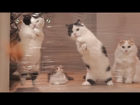 Reaction of cat facing the invisible wall~ !! Various reactions of cats ~ [invisible wall challenge]
