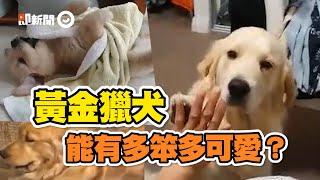 黃金獵犬可愛耍笨特輯!咬小被被打滾、被空氣門困住...把妹也用滾的|寵物|狗|Golden Retriever