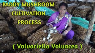 Paddy Straw Mushroom Cultivation Process
