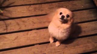 Guilty Pomeranian
