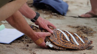 Volunteers, the first line of defence for sick and stranded marine turtles Thumbnail