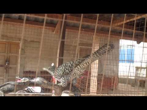 Forest birds caught as pets, Savannakhet, Central Laos 2014