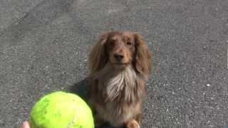ミニチュアダックスの女の子、セシル3歳です。 ボール遊びが大好きです。