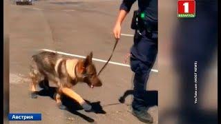 В Австрии из-за жары полицейских собак обули в ботинки