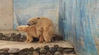 Polar bears like to fuck!
