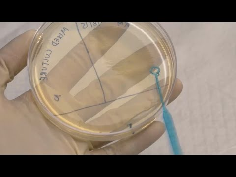 ID Laboratory Videos: Isolating bacterial colonies