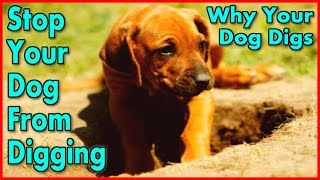How To Train Your Dog To Stop Digging { Start Now! } Keep A Dog From Digging :))))