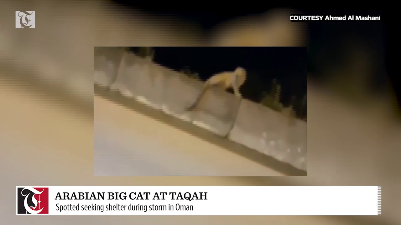 Arabian Leopard spotted seeking shelter during storm Luban in Oman