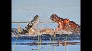 Crocodile vs Hippo real Fight To Death - Wild Animals Attack